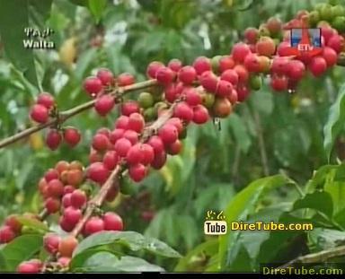 The Ethiopian Specialty Coffee - Unque